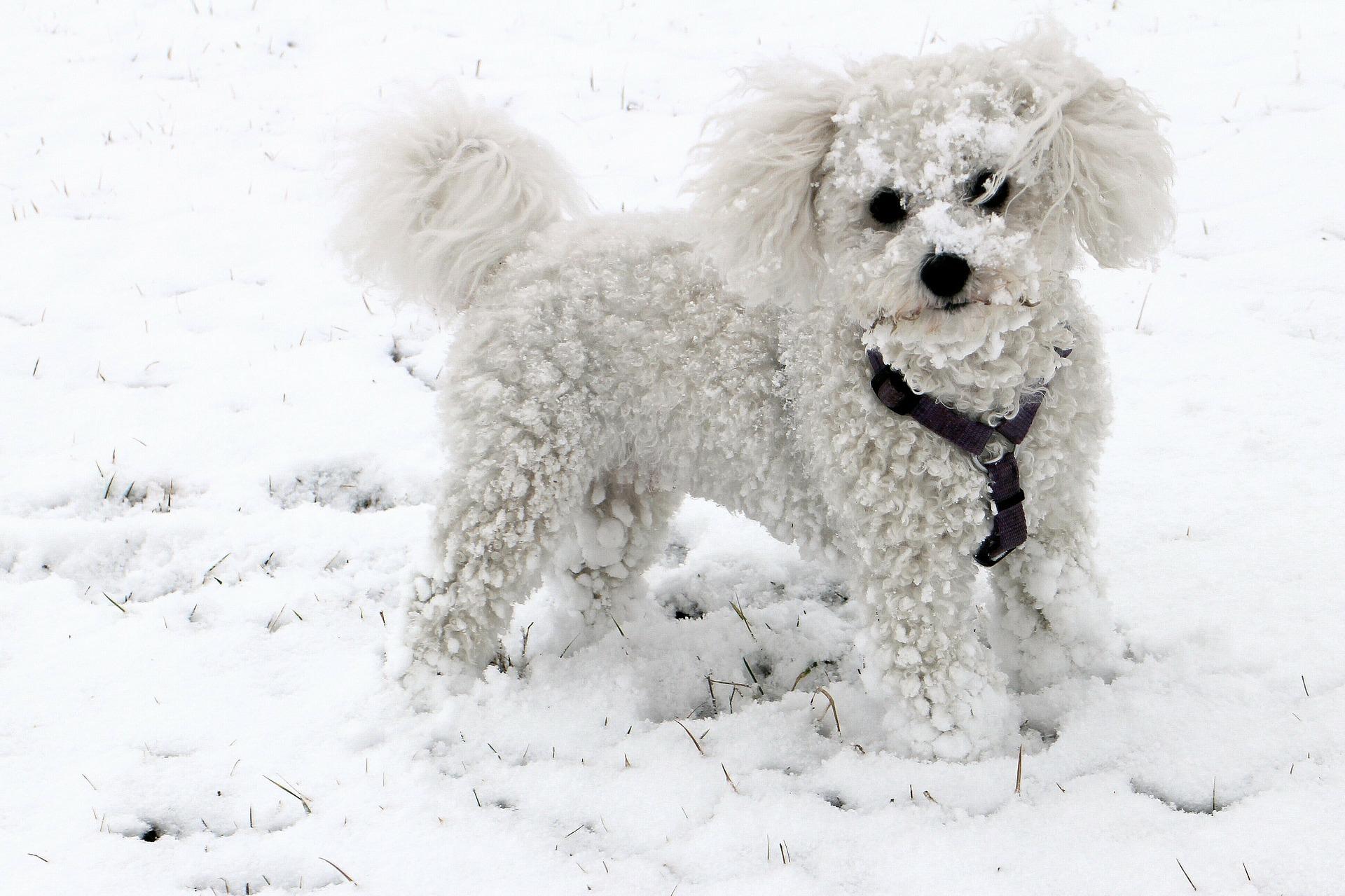 hvit liten søt hund i snø