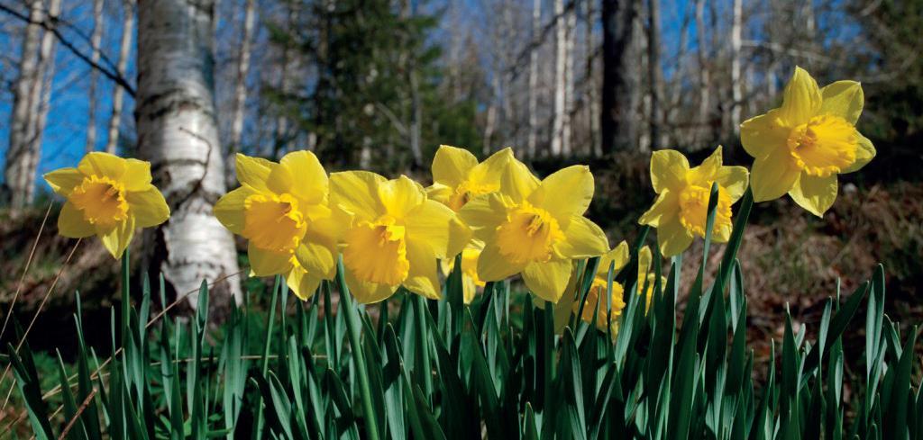 nærbilde av påskeliljer