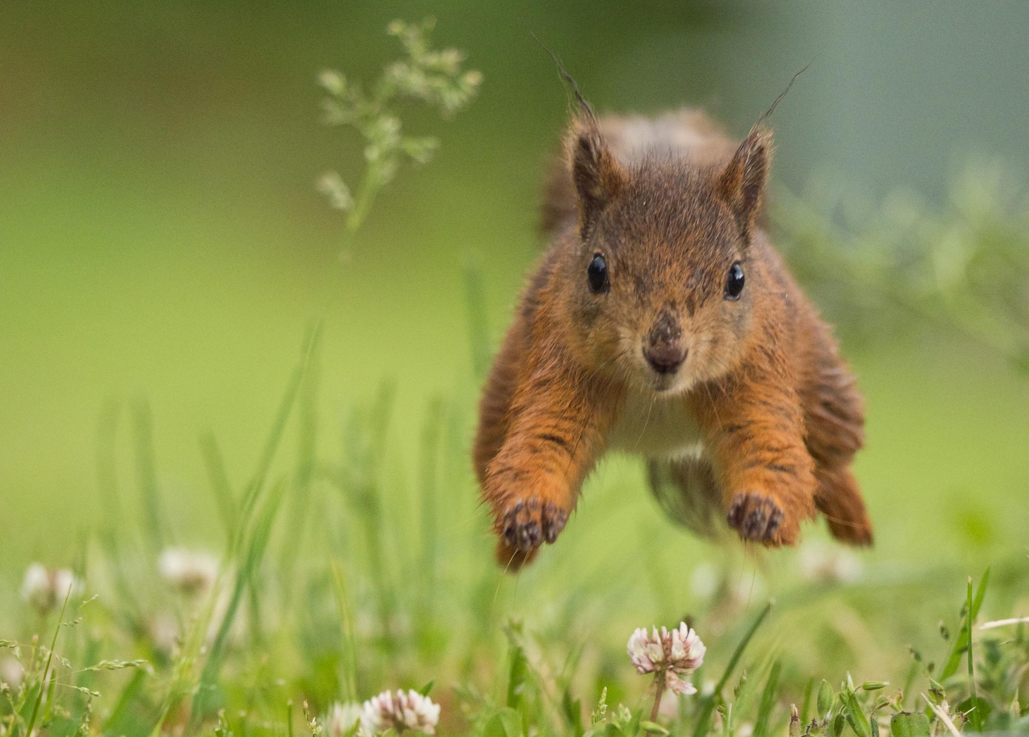 ekorn som hopper i gresset