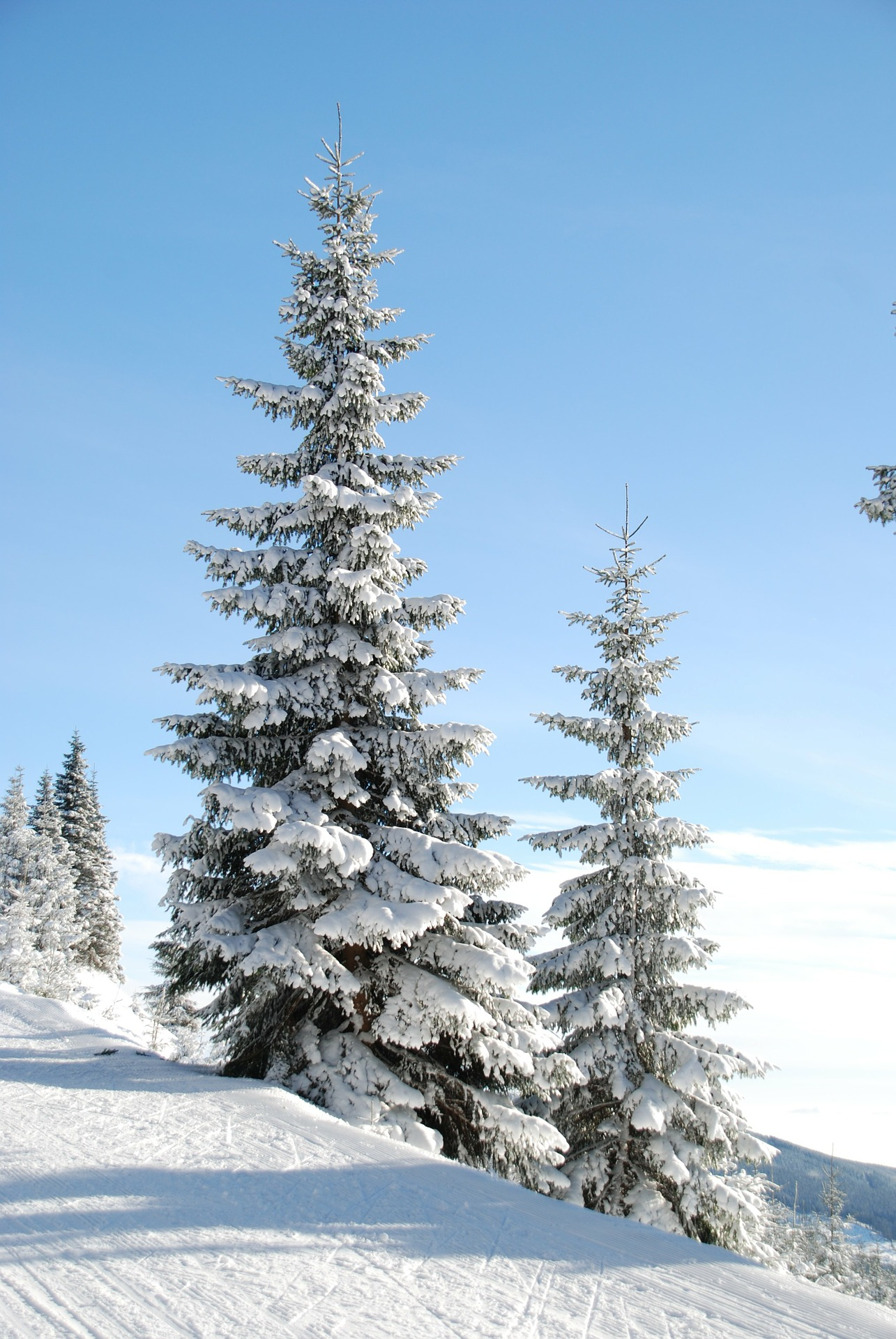 Grantrær i snø
