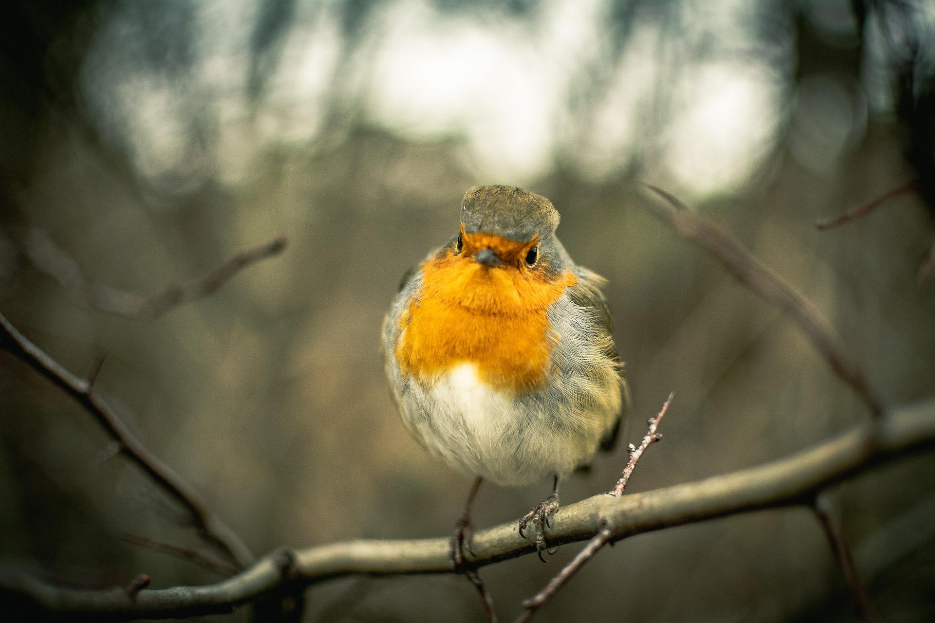 Fuglen rødstrupe på en gren